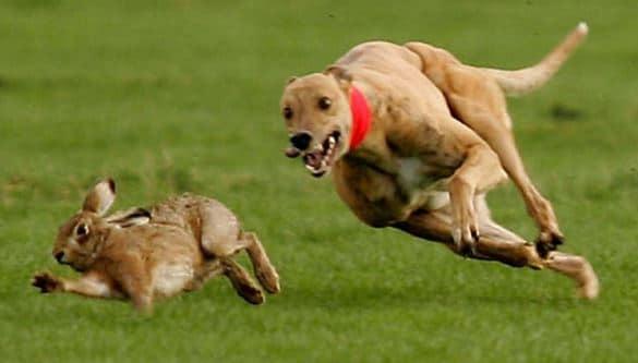 Câu chuyện kinh doanh chó săn và thỏ