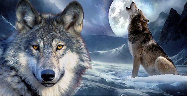 chuyện sinh tồn của chó sói